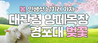 강릉평창 당일 - 봄향기 물씬나는 벚꽃길과 대관령 양떼목장의 만남!! 봄바람 휘날리며 메에~ 흩날리는 벚꽃잎이 메에~